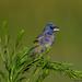 Blue Grosbeak by b88harris