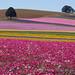 Flower Fields by Janice L