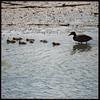 A good season - Lake Whetstone ducklings