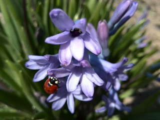Ladybird and flower