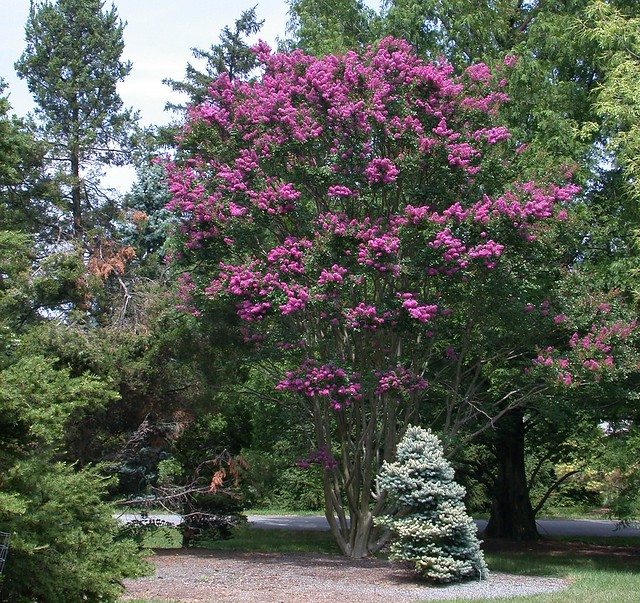 Lagerstroemia 'Zuni'  (cropped)