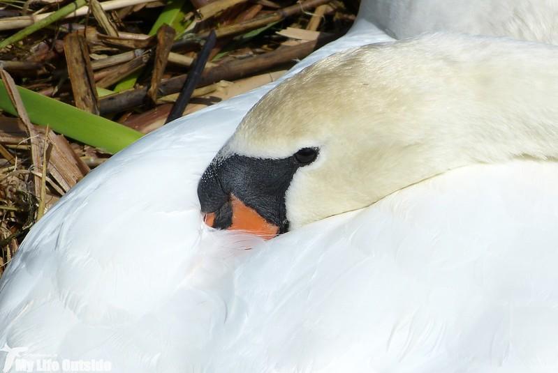 P1120526 - Mute Swan, Tywyn Bach