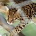 Mayaguez Zoo - lynx  (3)