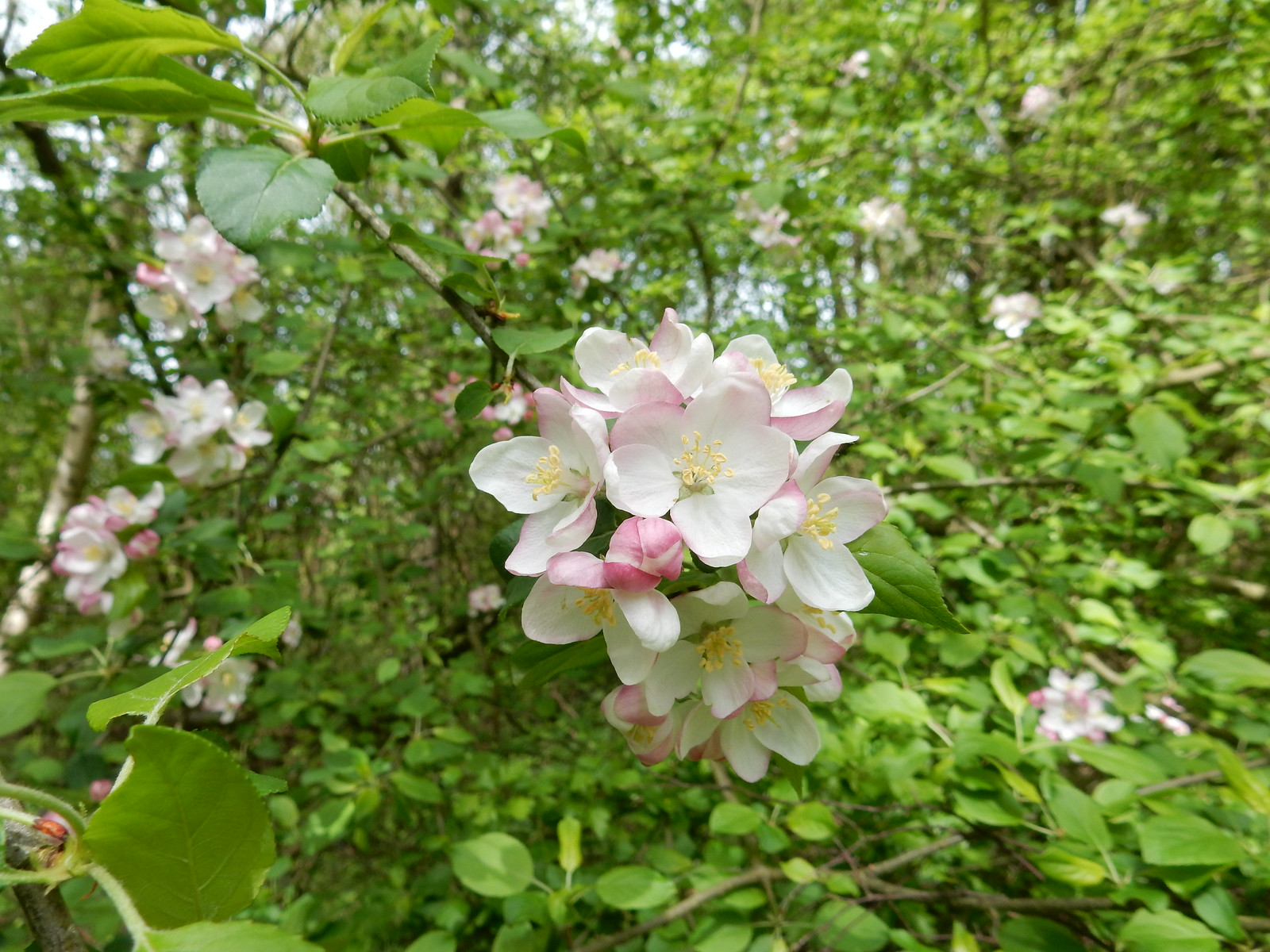 Apple blossom Possibly crab.... Whyteleafe to Woldingham