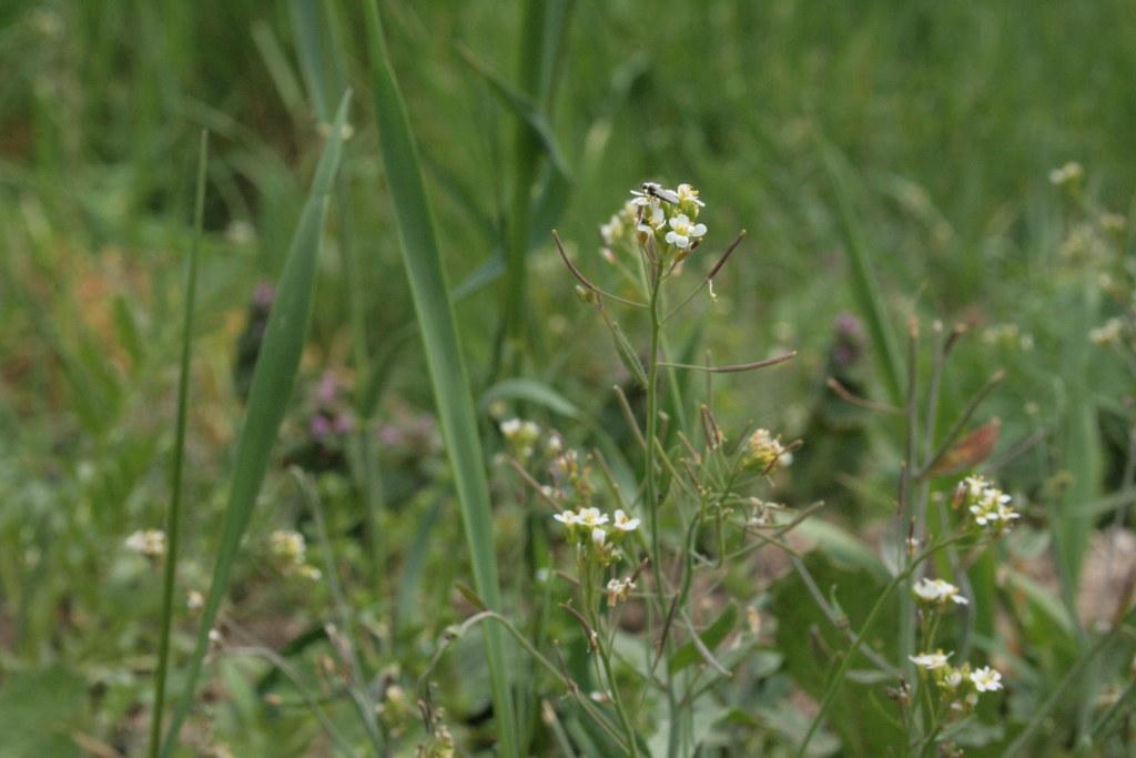 Capsella bursa-pastoris - Hirtentäschel (noch jung)