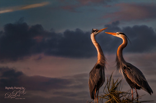 Image of two courting gray herons
