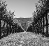 Vineyard - Napa Valley