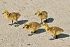 Canada Geese Goslings 16-0529-9759 by digitalmarbles