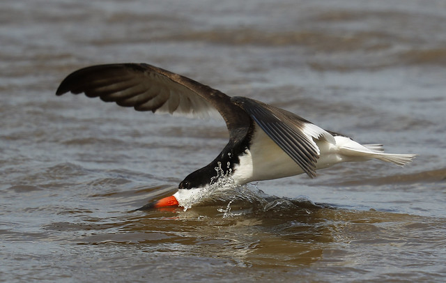 Black Skimmer with bow wave  {Explored!  Thank you!!}