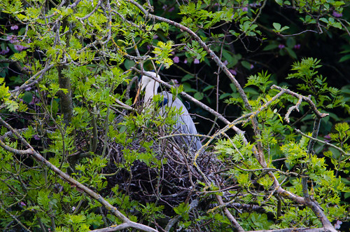 Be upstanding: heron on the nest