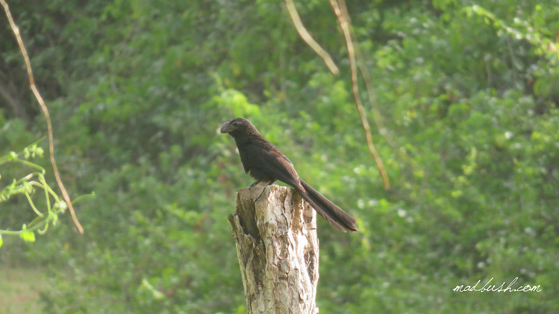 Smooth-Billed Ani (Crotophaga ani) in St.Ann's Bay