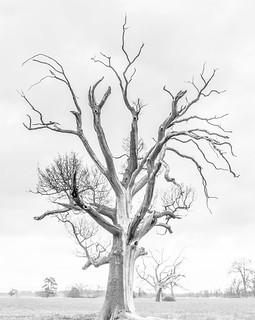 naked oak tree