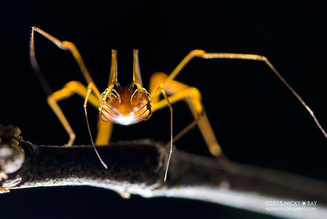 Harvestman (Opiliones) - DSC_6973