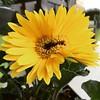 Sleepy looking gerber daisy