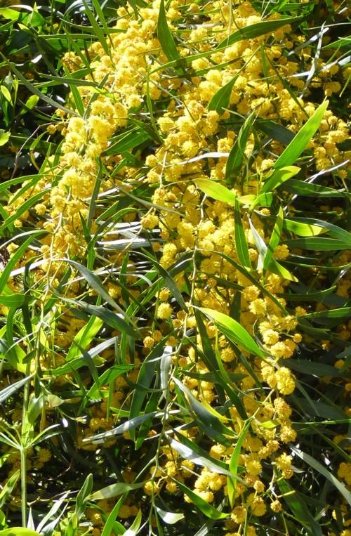 Acacia saligna 17029550236_d6ce5d4da7_o