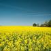 The Yellow Sea of Morgan County by MilkaWay