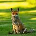 The Fox / Fuchs