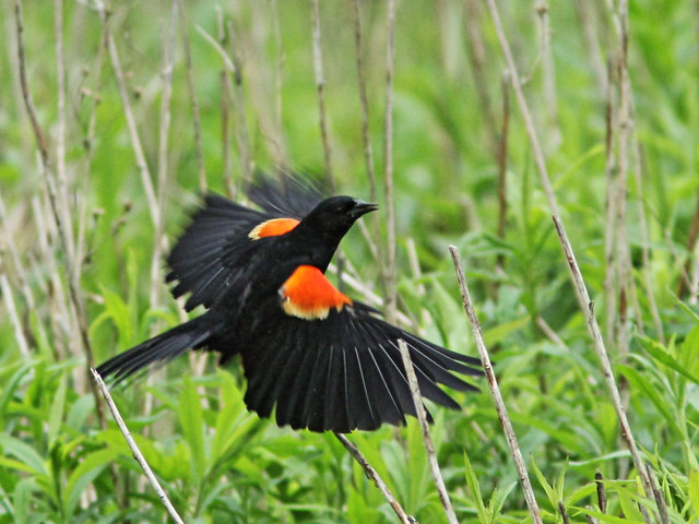 Red-winged Blackbird in flight 20150515