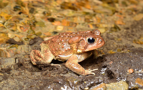 American Toad streamside at night
