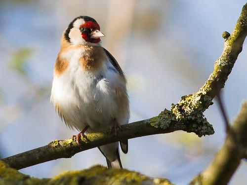 birds goldfinch vögel songbird distelfink stieglitz singvogel achimermarsch