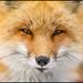 Red Fox in NJ by Nikographer [Jon]