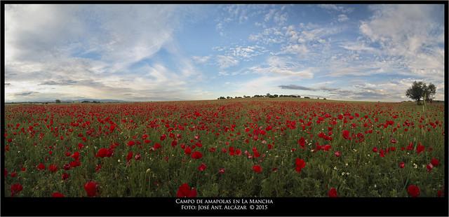 Campo de amapolas en La Mancha