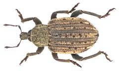 Brachypera zoilus (Scopoli, 1763) Syn.: Hypera punctata (Fabricius, 1775) Syn.: Hypera zoilus (Scopoli, 1763)