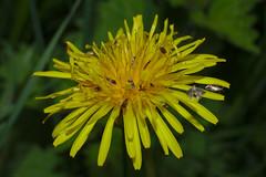 Caddisflies on a dandelion