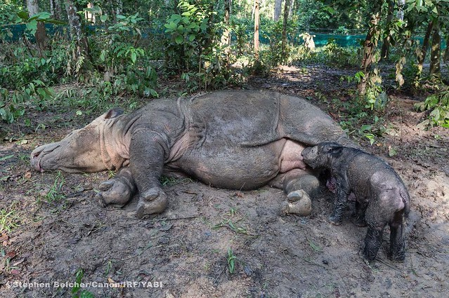 Photo: Newborn Sumatran Rhino nursing ***Birth video has been posted on http://ift.tt/1TBh1Jt *** Ratu, a 14-year-old Sumatran rhino living at the Sumatran Rhino Sanctuary (SRS) in Indonesia's Way Kambas National Park gave bith to a female calf on May 12