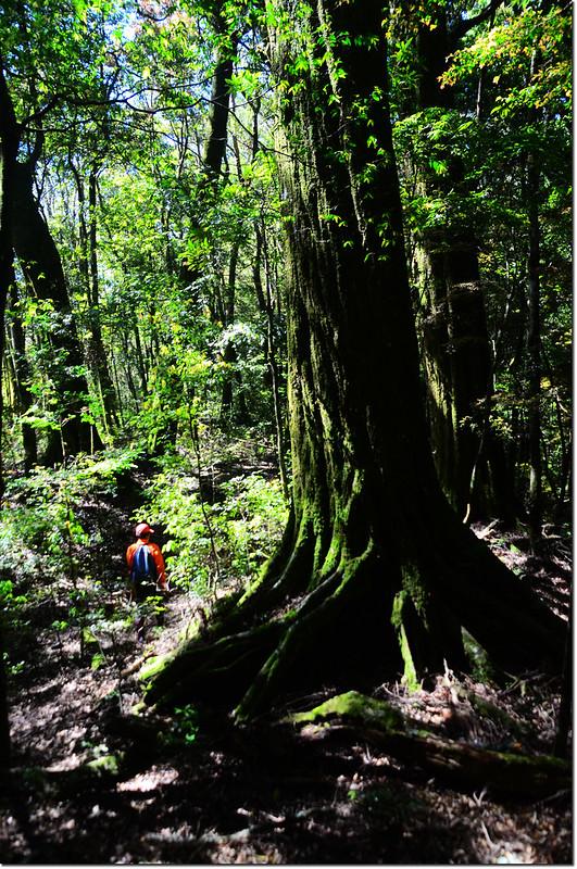 佳仁山稜線上巨木群 4