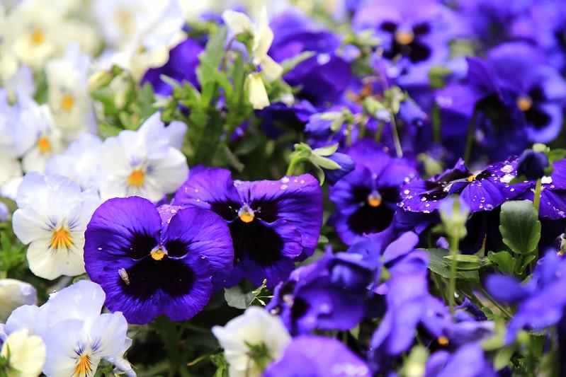 pensées violette bleu jardin botanique de madrid