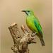 Orange Bellied Leafbird by Aravind Venkatraman