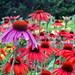 March of the Coneflowers