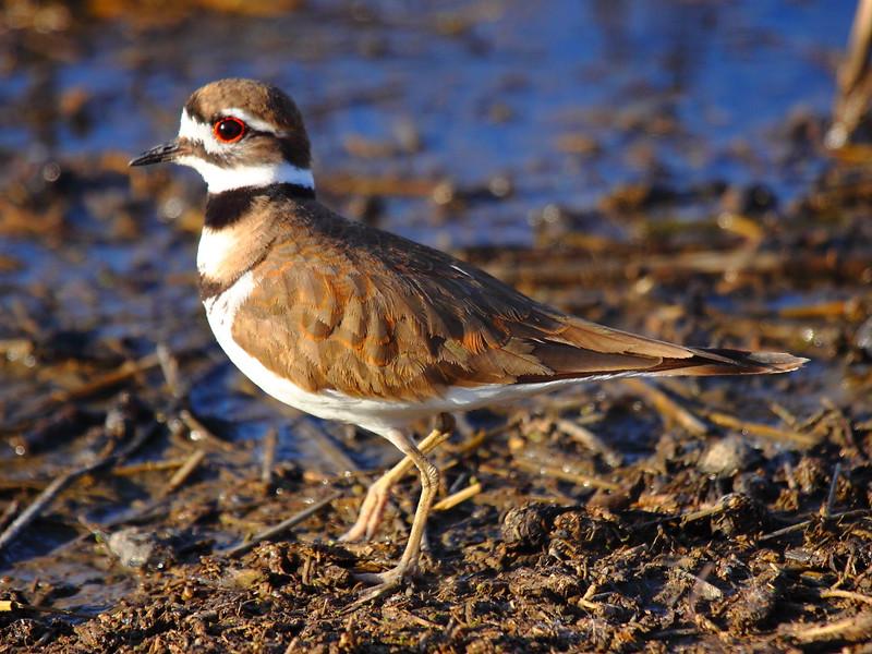 IMG_8647 Killdeer, Merced National Wildlife Refuge
