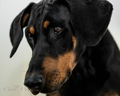 puppy(0.0), dog breed(1.0), animal(1.0), dog(1.0), manchester terrier(1.0), dobermann(1.0), pet(1.0), guard dog(1.0), transylvanian hound(1.0), close-up(1.0), austrian black and tan hound(1.0), polish hunting dog(1.0), carnivoran(1.0), black(1.0),