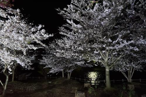 17_亀山ダムの夜桜_2