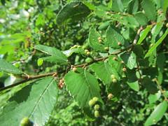 Cedar Elm with galls