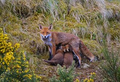 Urban Fox Family