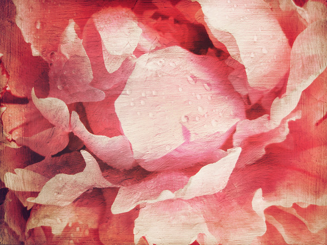 Pink peony in the photo app Stackables using the formula Winter Sunset