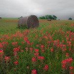 Texas Wildflowers_2016_Haystacks