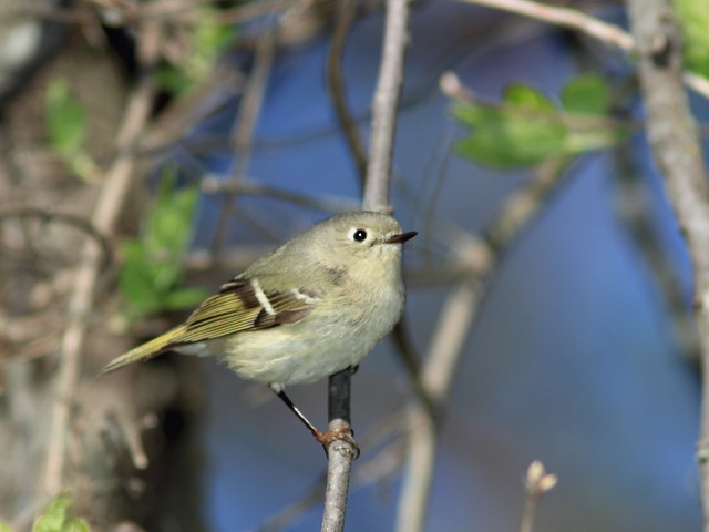 Ruby-crowned Kinglet 6-20150423