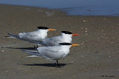 The Royal Tern Trio ~ Royal Terns ~ Thalasseus maximus ~ Southern Outer Banks, North Carolina
