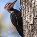 Pileated Woodpecker by malarchie