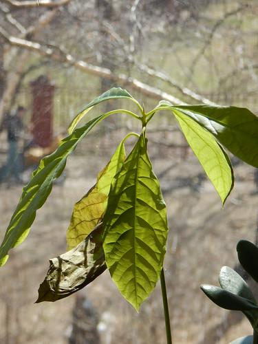 как вырастить авокадо из косточки, советы по уходу за авокадо | horoshogromko.ru