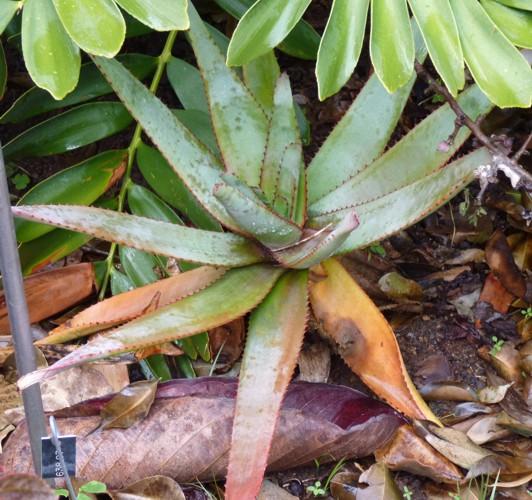 Aloe capitata 16959816469_c6aa84284c_o