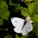 Cabbage white butterfly, Tilden