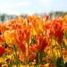 Tulips at Waddesdon Manor by peet-astn