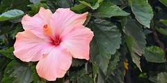 Hibiscus (San Miguel Chapultepec)