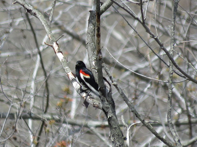 Partially leucistic Red-winged Blackbird