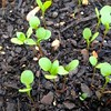 indigo seedlings